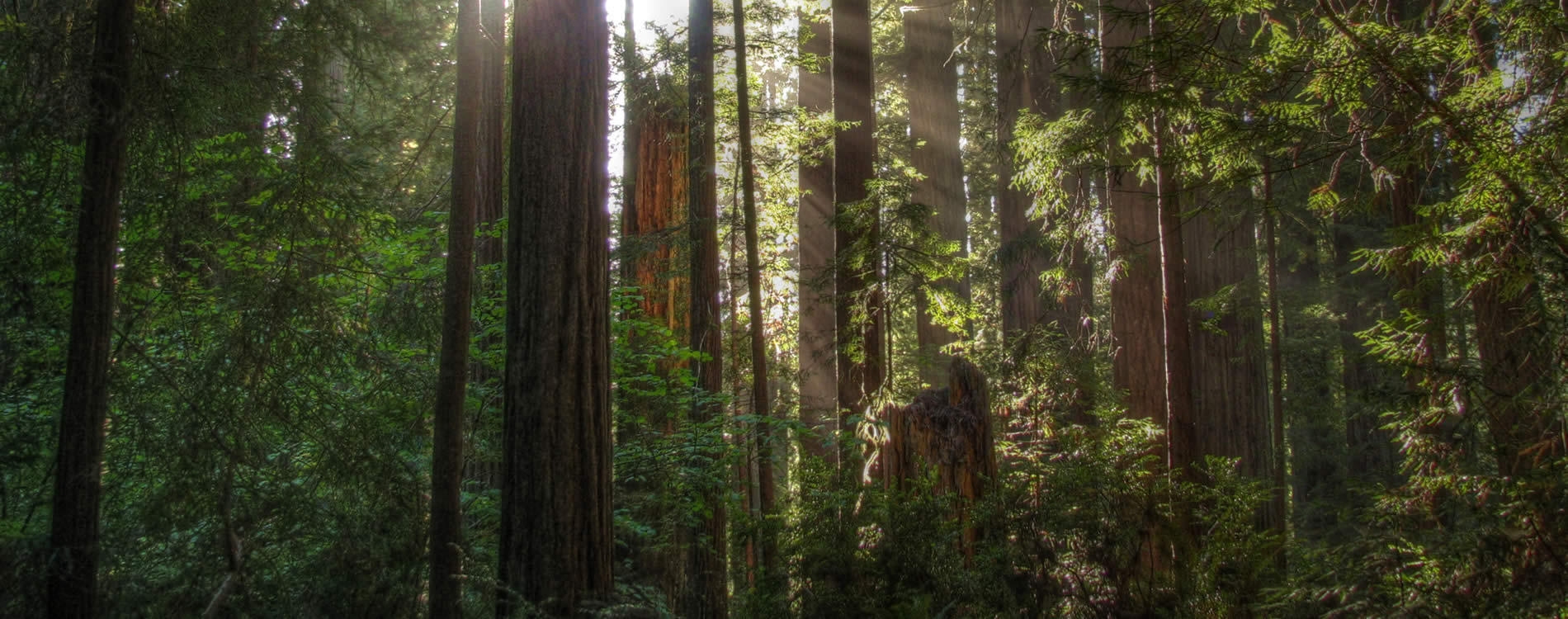 northern california giant redwoods forest